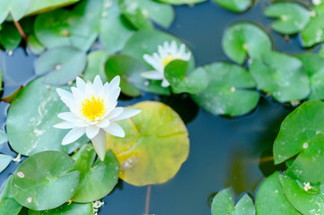 Wall Murals Water lilies a beautiful white Lily blooms among the water lilies in the pond