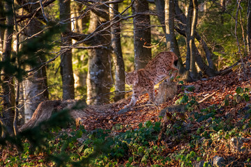 beautiful eurasian lynx in the forest