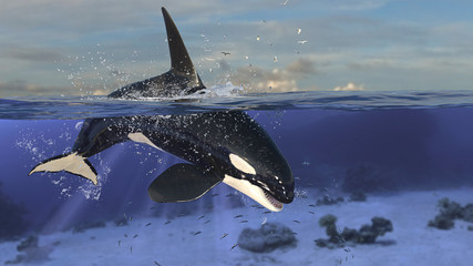 Orca killer whale diving down to underwater after jumping out of sea 3d rendering