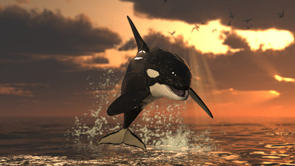 Single killer whale at sunset jumping out of water over sea surface at golden hour 3d rendering