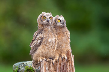 Fototapete - A couple of great horned owl babies