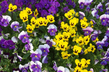Colorful Pansies in the Garden