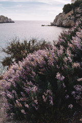 Vertical dark mood photo of pink lavender bushes. On the background bay, hills and open sea. Balearic Islands, Majorca. Vacation and travelling concept.