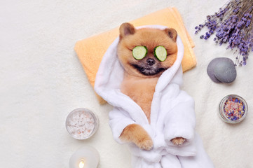 Spitz having rest at SPA with cucumbers on eyes
