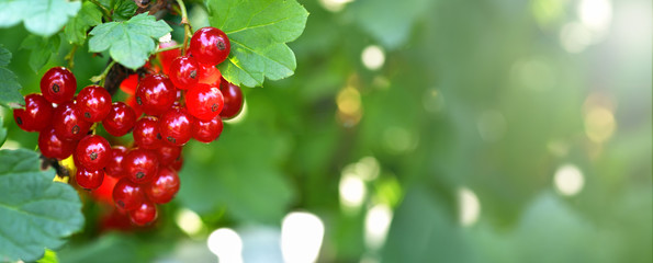 Banner. Red currant. A bunch of red currants in the shape of a heart on a currant Bush. Summer harvest background. Valentine's day Fototapete