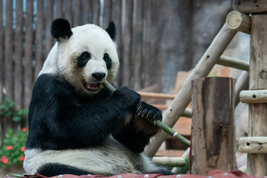 Giant Panda eats bamboo in the park.
