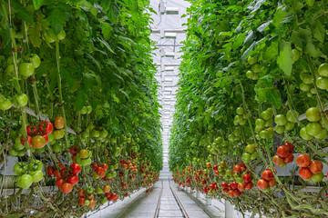 Fototapeta Tomatoes ripening on hanging stalk in greenhouse obraz