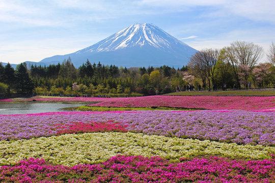 【日本】富士の芝桜