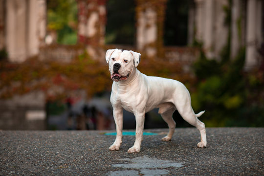 White american bulldog outdoors
