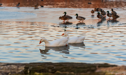 White goose swimming on lake in sunset light. Dam on river Mur in Gralla, Stausee