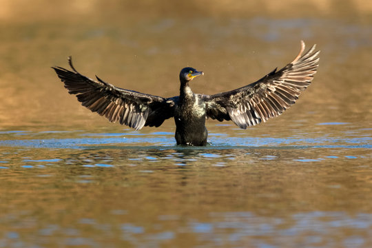 Cormorant drying the wings,the Drava River