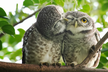 Spot owl  smelling each other on a branch Wall mural