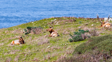 Male Tule elk (Cervus canadensis nannodes) sitting on a meadow in Point Reyes National Seashore,...