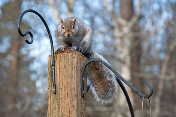 A picture of a eastern grey Squirrel standing on the stud.    Vancouver BC Canada
