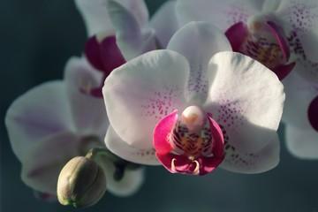 Garden Poster Orchid Orchidee in der Nahaufnahme in pink und weiss