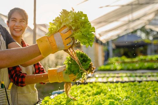 agriculture, gardener, farm, harvest, vegetable, technology concept. The gardener harvesting lettuce at vegetable growing house in morning..