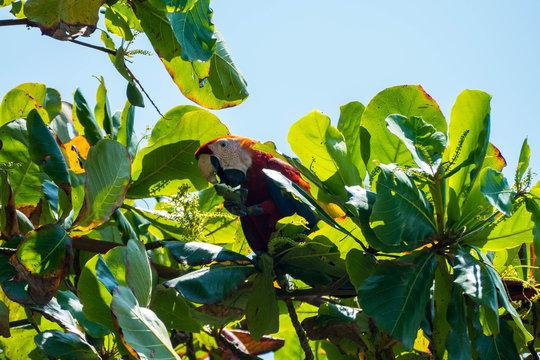 Parrot in Costa Rica Manuel Antonio national park