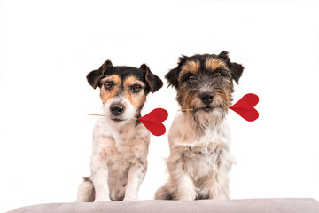 Romantic Dog - Two small cute Jack Russell Terrier dogs with a heart as a gift for Valentine in the mouth.. Picture isolated on white.