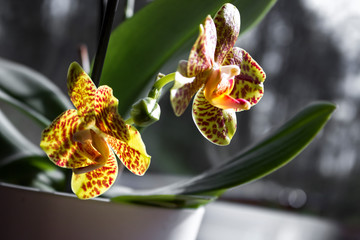 Tuinposter Orchidee Phalaenopsis (moth orchid) flowers yellow-red mackerel in backlight