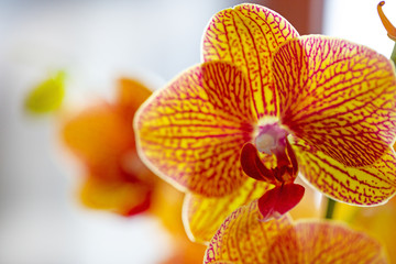 Tuinposter Orchidee Beautiful orchid flower, close up. Phalaenopsis flowers. Selective focus.
