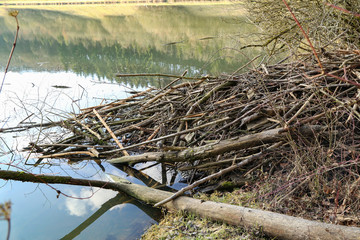 Beaver dwelling on a lake made up of trees and branches