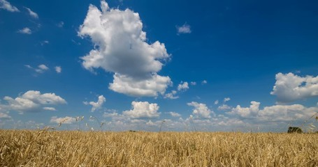 Fototapete - Blue sky with clouds and yellow field wheat, beautiful dynamic landscape on Sunny day. Scenic agricultural land, 4K Timelapse. Beauty nature, agriculture and seasonal harvest time.
