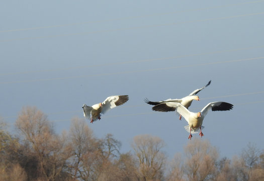 Several snow geese preparing to land at the Colusa National Wildlife Refuge in the Sacramento Valley, California.