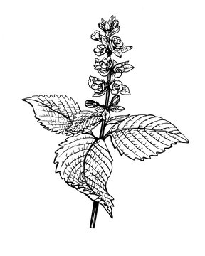 Flower and leaves Perilla frutescens (also known as Korean perilla, Shiso, Chinese basil, blueweed, silam). Black and white outline illustration hand drawn work isolated on white.
