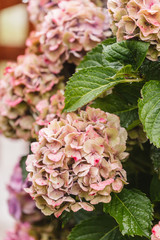 Photo sur Plexiglas Hortensia hydrangea flowers