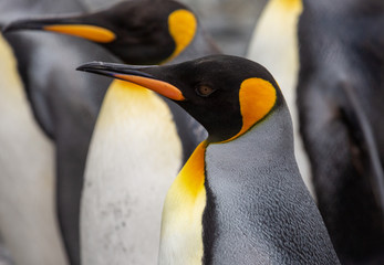 Spoed Fotobehang Pinguin King Penguins in South Georgia