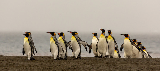 Fotobehang Pinguin King Penguins emerging on a beach in South Georgia
