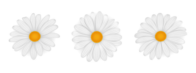Chamomile. Daisy. Vector realistic flowers isolated on white background.