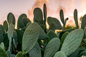Texas Prickly pear cactus with green fruit with sunset background