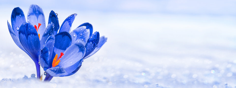 Crocuses - blooming blue flowers making their way from under the snow in early spring, closeup with space for text, banner