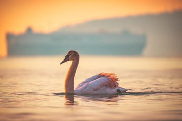 Poster Zwaan White swan in the sea water and golden sunrise shot