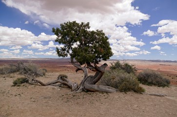 Twisted tree survives Utah Desert