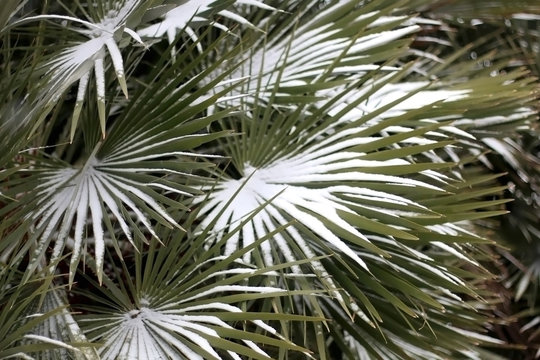 Snow falling on a tropical plant. Unusual weather conditions. Selective focus.