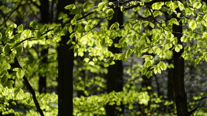 Green leaves in a forest under sunlight in the summer Wall mural