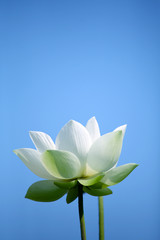 Garden Poster Lotus flower A white and clean lotus blooms in the blue sky