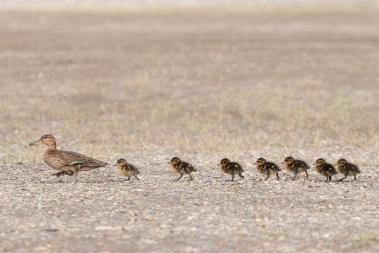 Duck (eurasian teal) leads its brood of seven chicks across the road