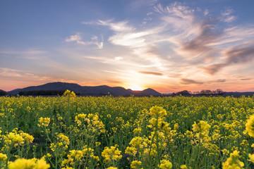 Foto op Canvas Donkergrijs 夕日に輝く菜の花を見よう