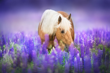 Photo sur Aluminium Chevaux Palomino horse with long mane in lupine flowers at sunset