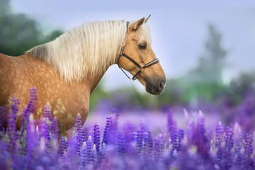 Autocollant pour porte Chevaux Palomino horse with long mane in lupine flowers at sunset