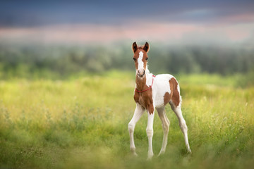 Pinto foal walk on meadow Papier Peint