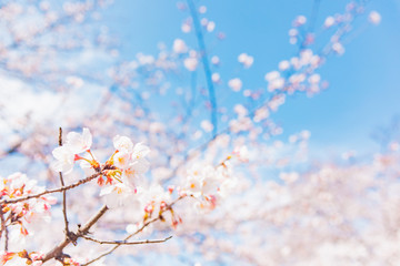 Keuken foto achterwand Kersenbloesem 満開の桜 晴天
