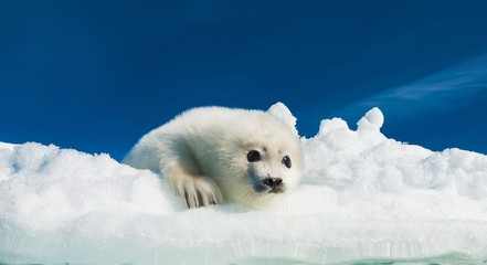 Little cub seal lies in the snow