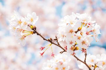 満開の桜 晴天