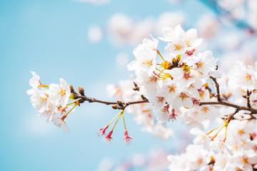 Fotobehang Kersenbloesem 満開の桜 晴天