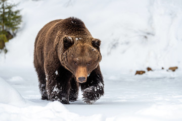 Wall Mural - Wild brown bear in winter forest