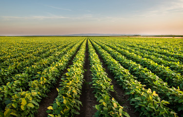 Self adhesive Wall Murals Culture Open soybean field at sunset.